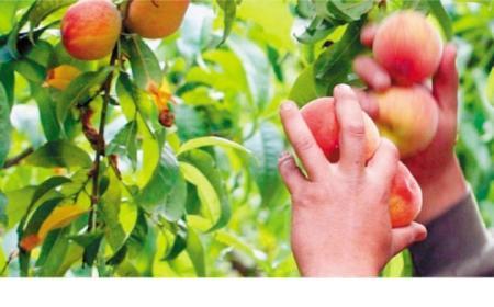 Productores regalarán 10 toneladas de frutas en protesta
